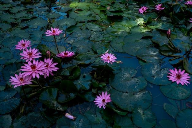 Jardin de lotus rose flottant dans l'étang, fleurs de nénuphar