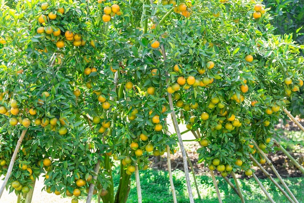 Jardin de plantation d'orange