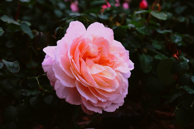 Jardin rose rose avec des gouttes d'eau sur elle dans un jardin avec un mur flou