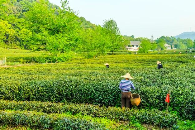Jardin de thé de longjing à west lake