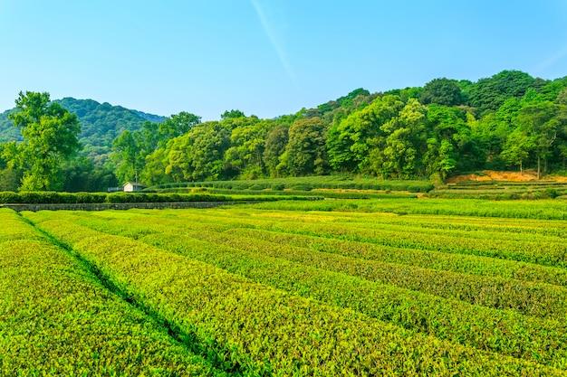 Jardin de thé paysage de culture fraîche