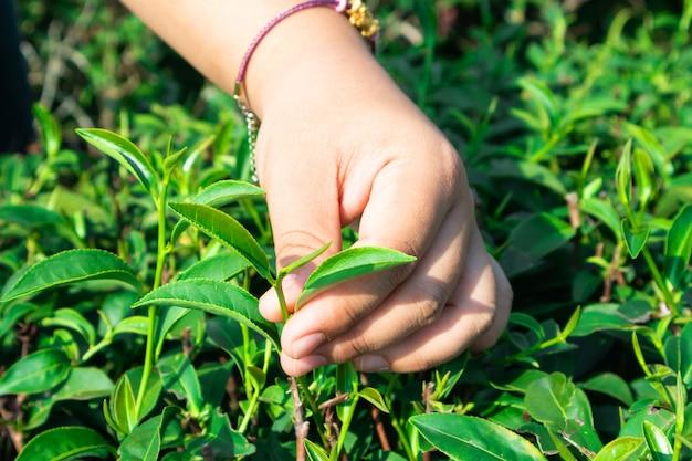 Jardin de thé vert en thaïlande