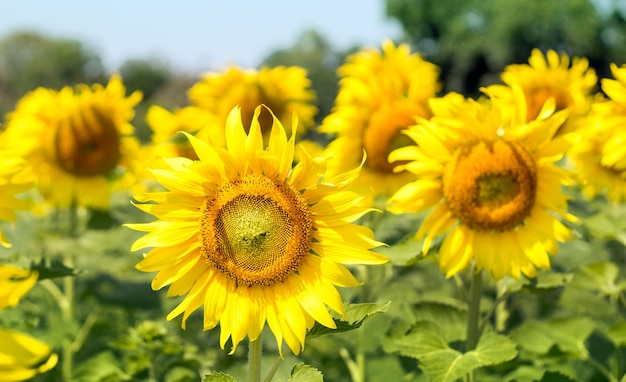 Jardin de tournesol sur une journée ensoleillée en arrière-plan de la nature