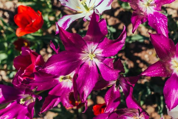 Jardin de tulipes colorées au printemps