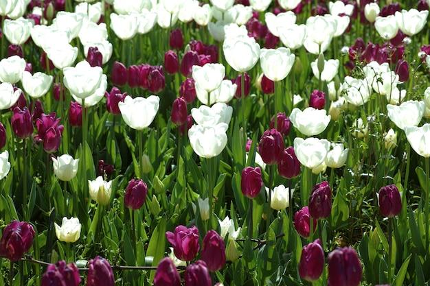 Jardin avec tulipes pourpres et blanches