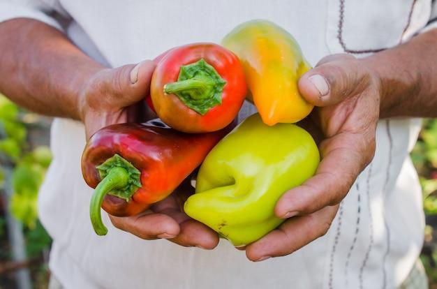Jardinage biologique. les mains des agriculteurs avec des poivrons rouges, verts et jaunes.