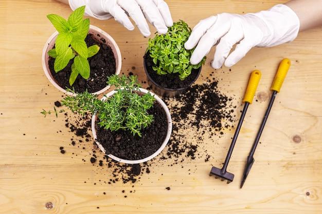 Jardinage domestique. mains avec des gants plantés d'herbes en pots