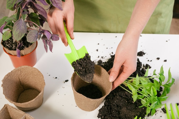 Jardinage, plantation à la maison. femme relocalisation d'une plante d'intérieur germée