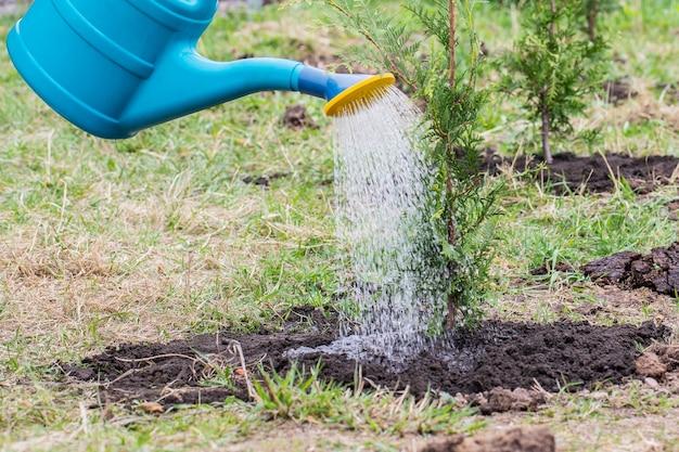 Le jardinier arrose le thuya brabançon planté à l'aide d'un arrosoir.