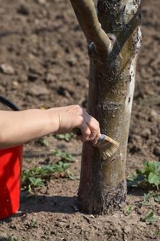 Jardinier blanchir le tronc d'arbre avec de la craie dans le jardin, soin des arbres au printemps. une femme jardinière s'occupe des arbres dans la rue dans le parc.