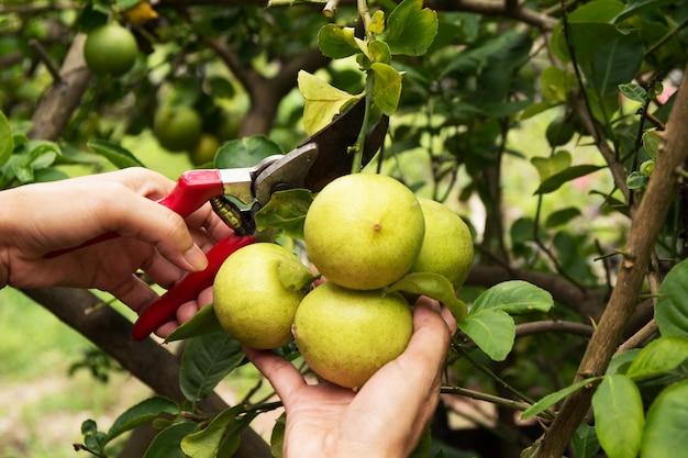 Jardinier élagage des citronniers