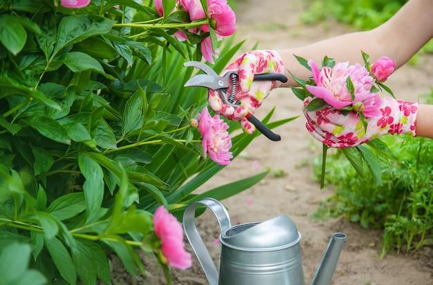 Jardinier élagage fleurs élagueuses pivoines.