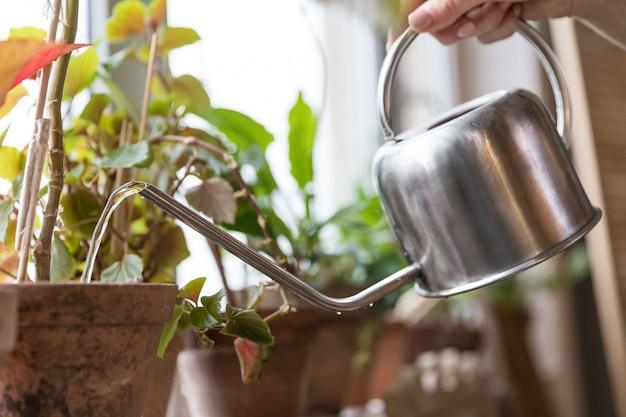 Jardinier femme arrosage plante d'intérieur en pot sur le rebord de la fenêtre en serre, close up