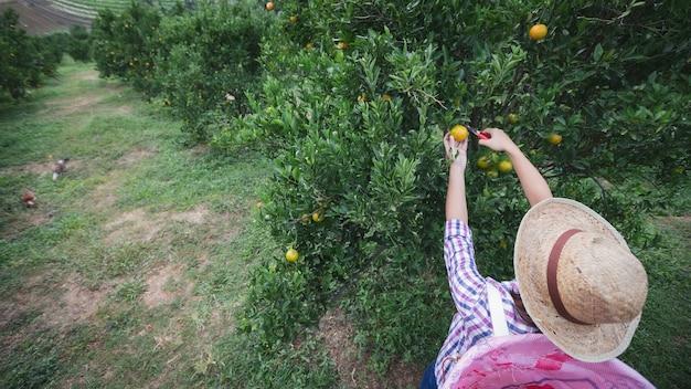 Jardinier de femme asiatique avec le panier à l'arrière de la cueillette d'une orange avec des ciseaux dans le jardin des oranges dans la matinée.