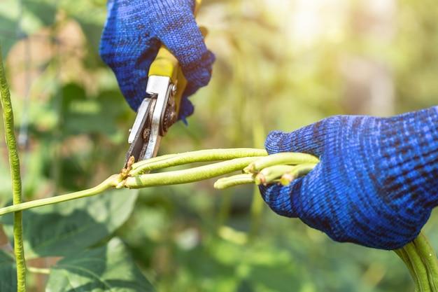 Jardinier gardant des plants de haricots longs frais dans un potager