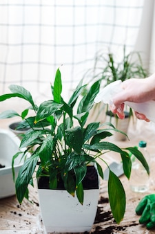 Jardinier homme transplantant une plante d'intérieur spathiphyllum. arroser la fleur d'un flacon pulvérisateur. concept de jardinage à domicile.