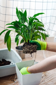 Jardinier homme transplantant une plante d'intérieur spathiphyllum. concept de jardinage à domicile.