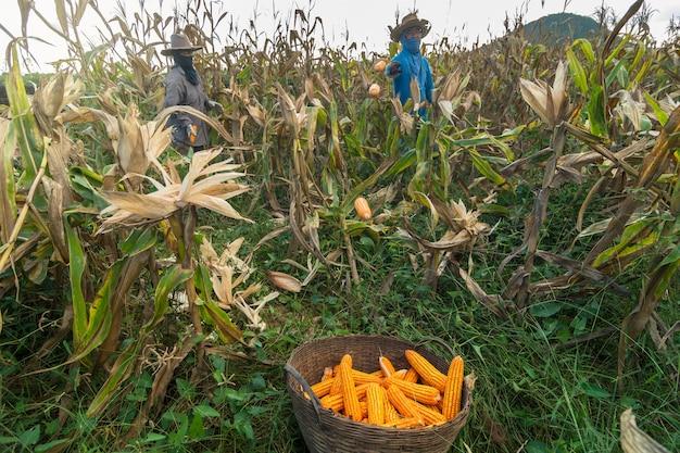 Jardinier indéfini récoltant le maïs au champ de maïs