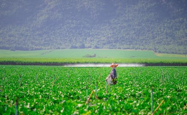 Jardinier marchant dans le chou chinois planté