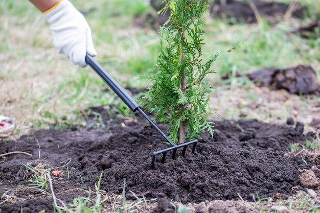 Jardinier pour ratisser la terre près de thuya brabant.
