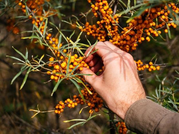 Le jardinier recueille une juteuse baies d'argousier du bush