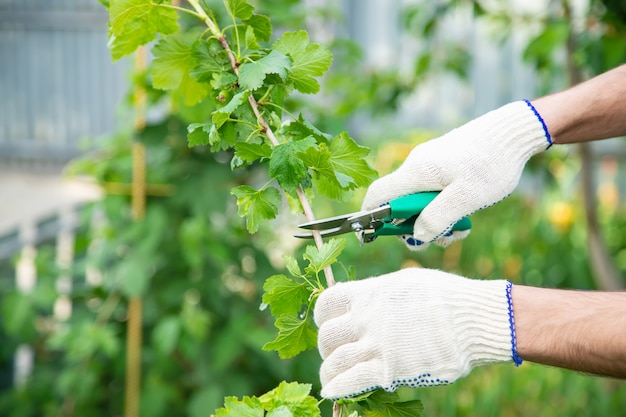 Jardinier sécateur de buissons. jardin.