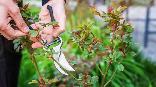 Jardinier taille des roses dans le jardin.