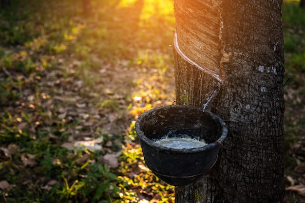 Jardinier tapotant un arbre à caoutchouc en latex. latex de caoutchouc extrait de l'hévéa.