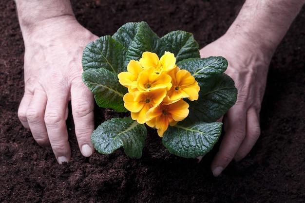 Jardinier transplantant des primevères jaunes