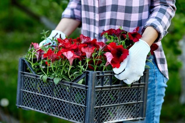Le jardinier transporte des fleurs dans une caisse au magasin.