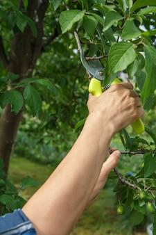 La jardinière s'occupe du jardin. taille de printemps des arbres fruitiers. femme avec sécateur cisaille les pointes de prunier