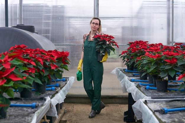 Une jardinière se promène avec un pot de fleurs et un arrosoir dans ses mains à travers une pépinière de poinsettias dans un complexe de serres industrielles