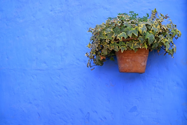 Jardinière en terre cuite de lierre algérien vert sur le vieux mur vibrant de couleur bleu vif