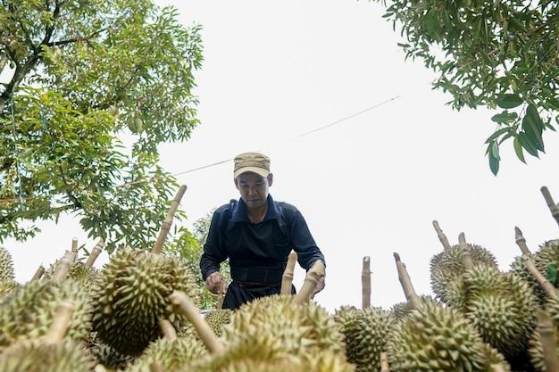 Les jardiniers de la province de chanthaburi trient le durian à vendre.
