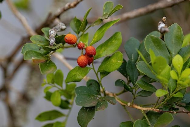 Jasmin orange plante de l'espèce murraya paniculata avec fruits et mise au point sélective