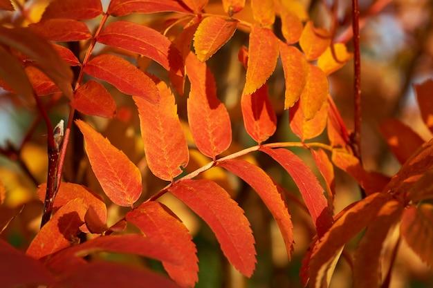 Jaune rouge feuilles de cendre de montagne au coucher du soleil.