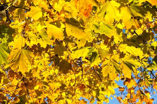 Jaune vif et éclairé par la lumière du soleil des feuilles d'érable sur un arbre en saison d'automne