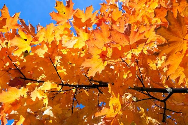 Jaunissement des feuilles sur les arbres - jaunissement des feuilles sur les arbres qui poussent dans le parc de la ville, saison d'automne, un petit dof,