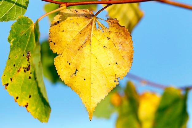 Jaunissement des feuilles sur les arbres qui poussent dans le parc de la ville