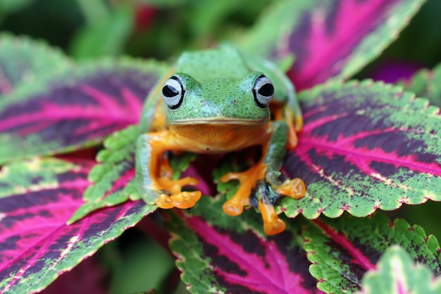 Javan tree frog libre image rhacophorus reinwartii sur feuille verte