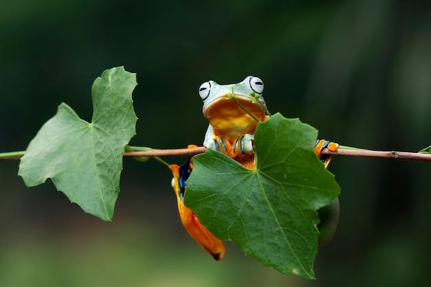 Javan tree frog libre image rhacophorus reinwartii sur les feuilles vertes