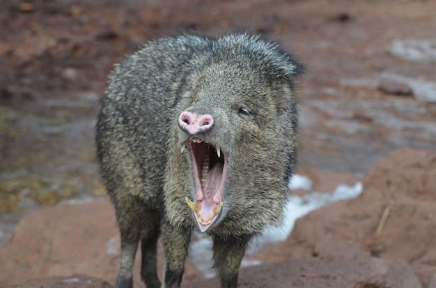 Javeline sauvage avec sa bouche grande ouverte