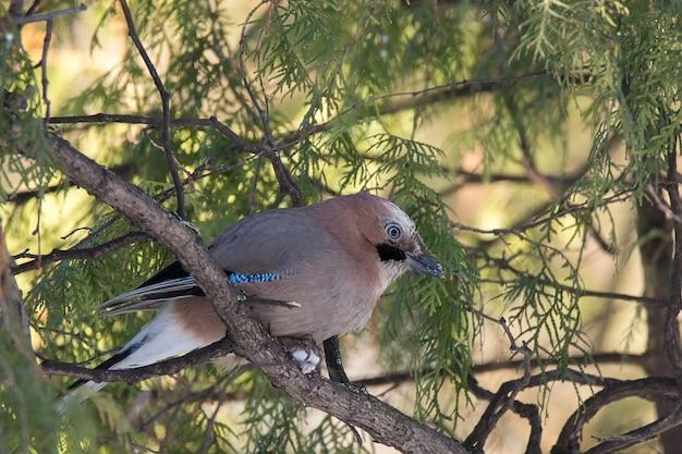 Jay oiseau sur un branc