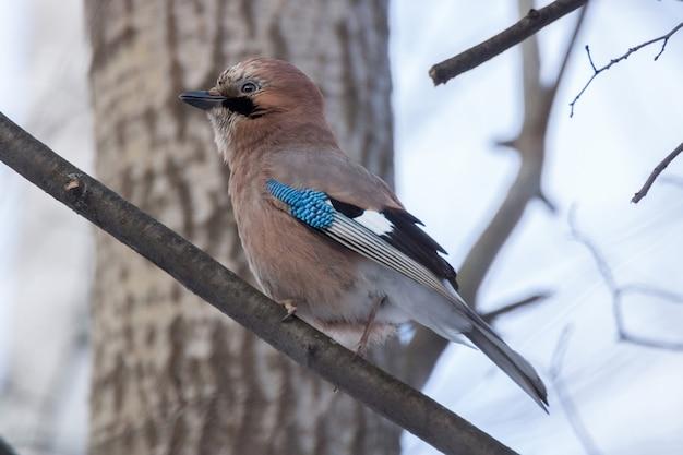 Jay oiseau sur une branche