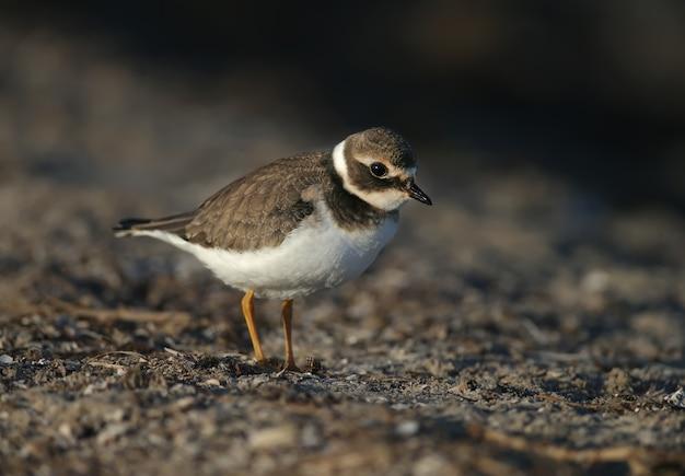 Jeune et adulte gravelot commun ou gravelot (charadrius hiaticula) en plumage d'hiver, gros plan sur la rive du lac dans la douce lumière du matin