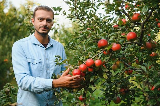 Jeune agriculteur attrayant ouvrier récolte des pommes dans le verger du village pendant la récolte d'automne. un homme heureux travaille dans le jardin, récoltant un portrait de pommes mûres pliées au coucher du soleil.