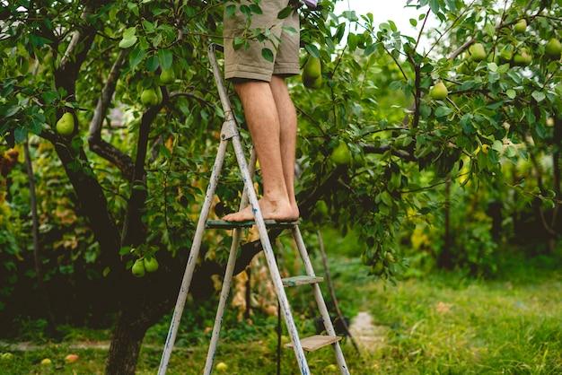 Jeune agriculteur à la cueillette occasionnelle des fruits de l'arbre en utilisant une échelle le jour de l'été pour la récolte