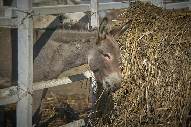Jeune âne essayant de manger du foin dans une ferme biologique en italie.