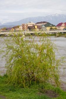 Un jeune arbre au bord de la rivière dans la ville, printemps