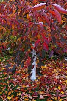 Jeune arbre de jardin avec tronc blanchi à la chaux et feuilles d'automne colorées feuilles tombées sur pelouse verte dans le parc